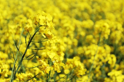 oilseed-rape-761453_1280